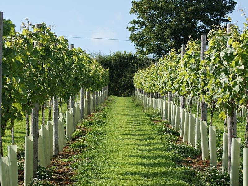 Lobhill Farmhouse Alder Vineyard