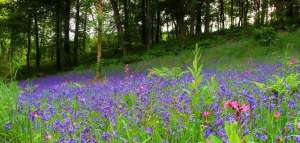 Take a relaxed walk in the bluebell kissed woodland at Lobhill Farmhouse Bed & Breakfast near Okehampton...