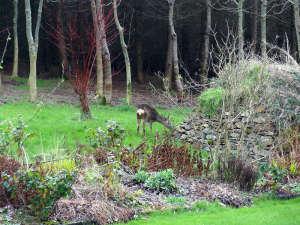 Roe deer at Lobhill Farmhouse