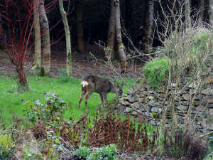 Roe deer at Lobhill Farmhouse