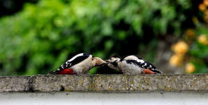 A visit from a woodpecker family