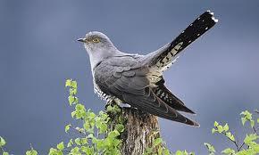 Cuckoo song on Dartmoor