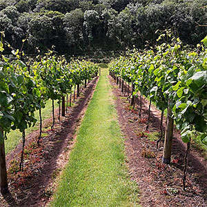 alder vineyard lewdown devon