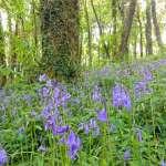 bluebells at lobhill farmhouse devon