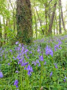 bluebells at lobhill farmhouse devon