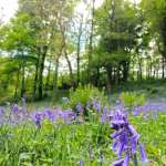 lobhill farmhouse bluebell walk